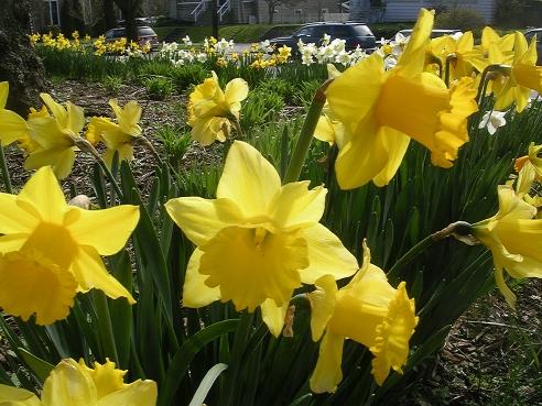 daffodil_1.jpg