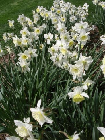 daffodil_2.jpg