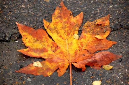 maple_leaf.jpg