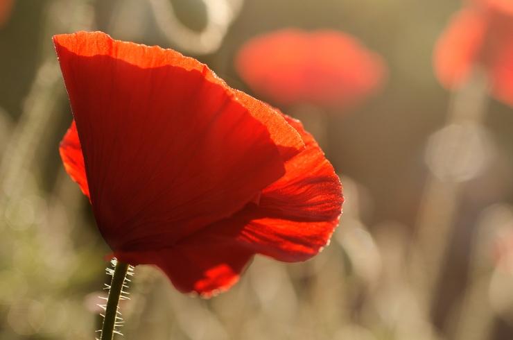 Poppy-IISmall